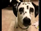 Most Beautiful Top Quality Dalmatian Pet Dog For Sale In England