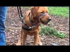 Guide Dog Pup Meets Farm Animals S1E55