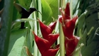 Heliconia Bitkisi