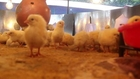 Visited poultry farm today and saw these cute chicks